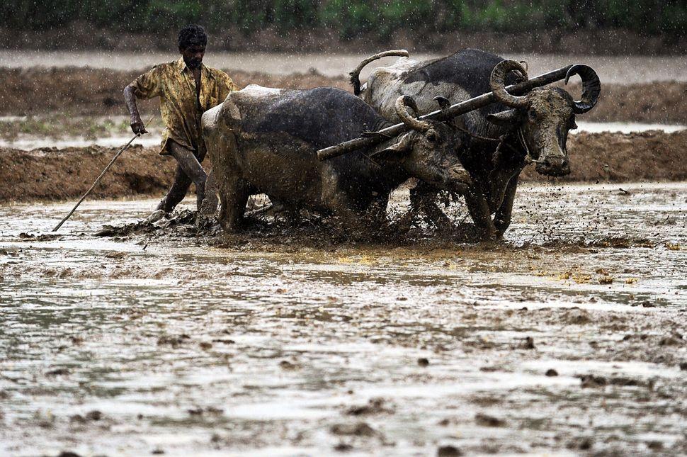 A Sri Lankan farmer plows his field in the rain at Biyagama on the outskirts of Colombo on October 13, 2013. (Ishara S. Kodik