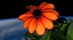 Il primo fiore sbocciato nello spazio saluta il Sole