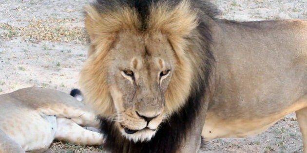 Cecil: il leone ucciso da un dentista americano nello Zimbabwe. E ora la rete chiede