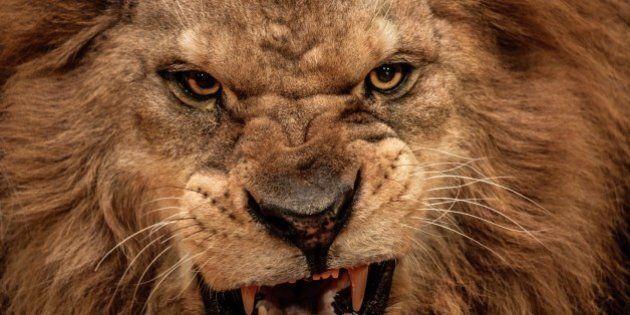 Sudafrica, leoni attaccano bracconieri e ne uccidono uno. La fuga dei cacciatori illegali