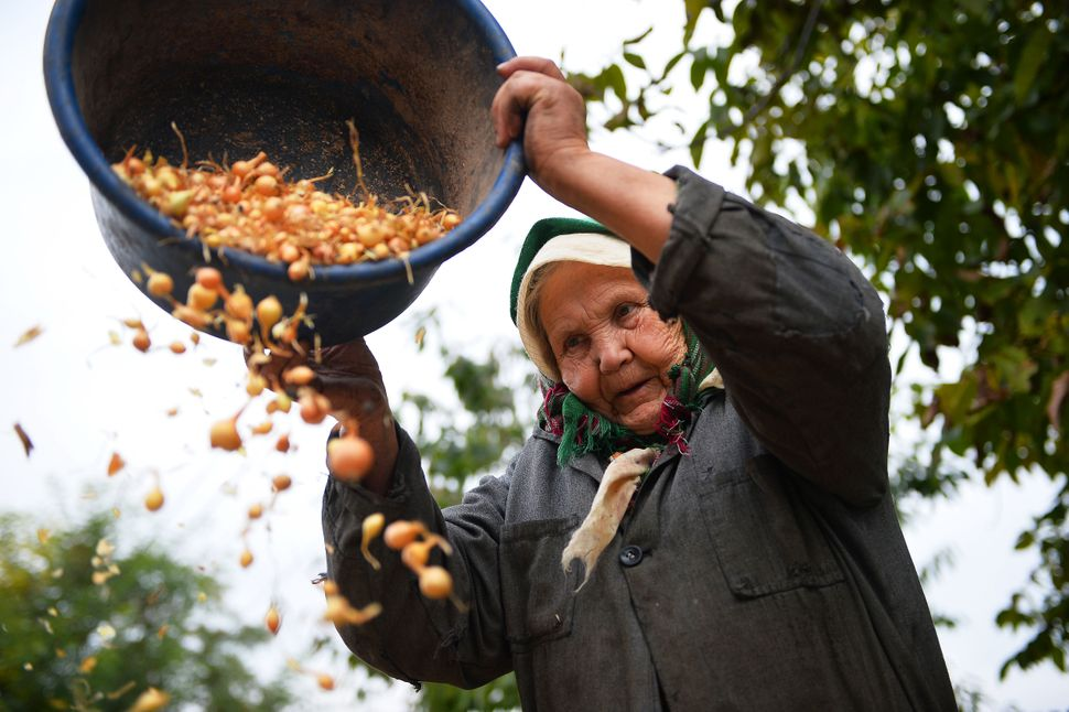 A woman of Russian origin dry little onions in Dobrogea village next to Balti, Moldova on October 10, 2013. (Daniel Mihailesc