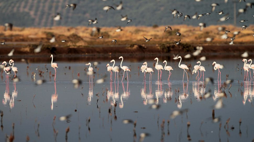 Flamingos stand in a lagoon near Messolongi in western Greece, Sept. 30, 2013. (Dimitri Messinis/AP)