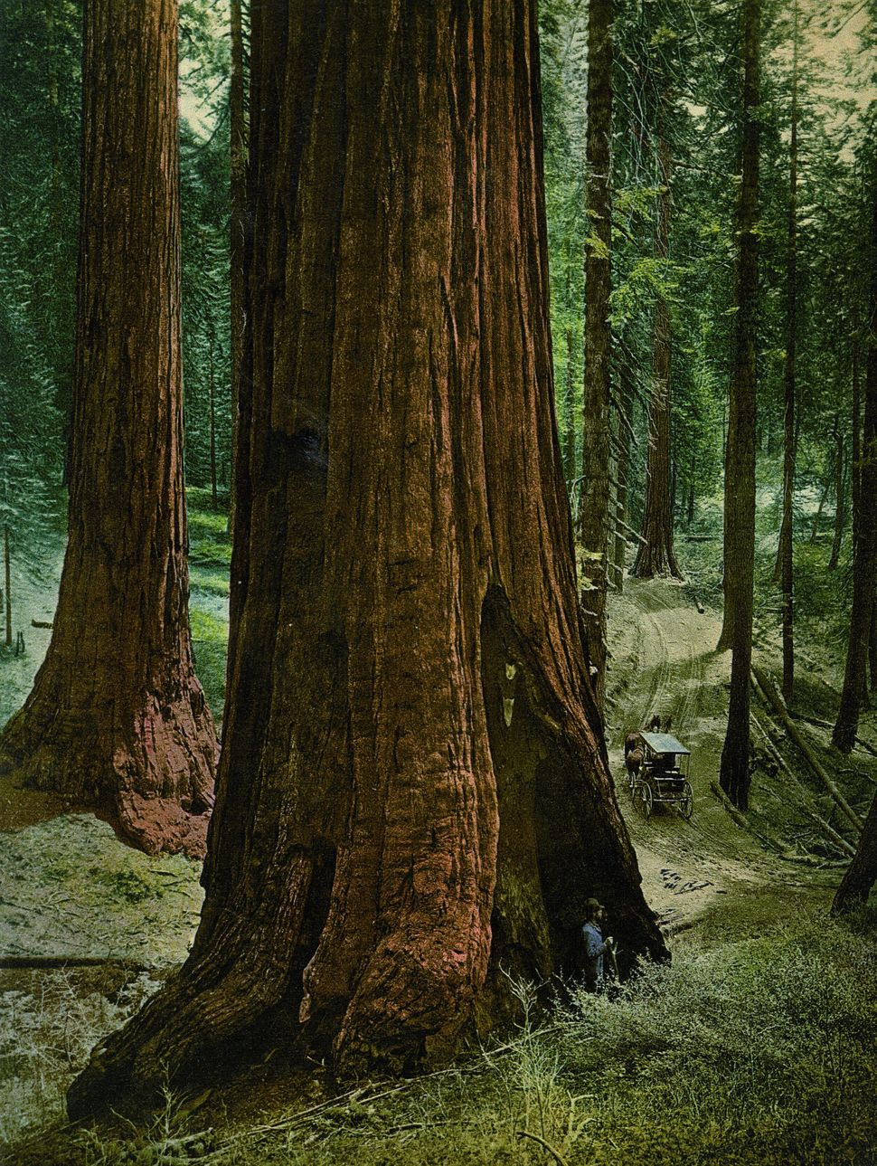 Mariposa Grove, 'Three Graces', Yosemite national park, California.