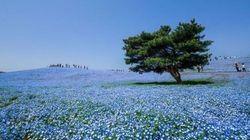 4 milioni e mezzo di piccoli occhi blu. Lo spettacolo della fioritura all'Hitachi Seaside Park in