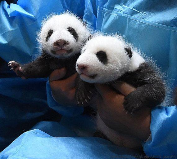 L'asilo per baby panda giganti è la cosa più carina che possiate