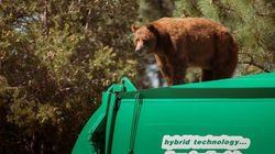 L'orso curioso si fa dare un passaggio dal camion della
