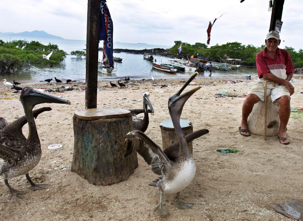 Grey pelicans are fed in Veracruz, outskirts of Panama City, Saturday, May 2, 2009. (Esteban Felix/AP)