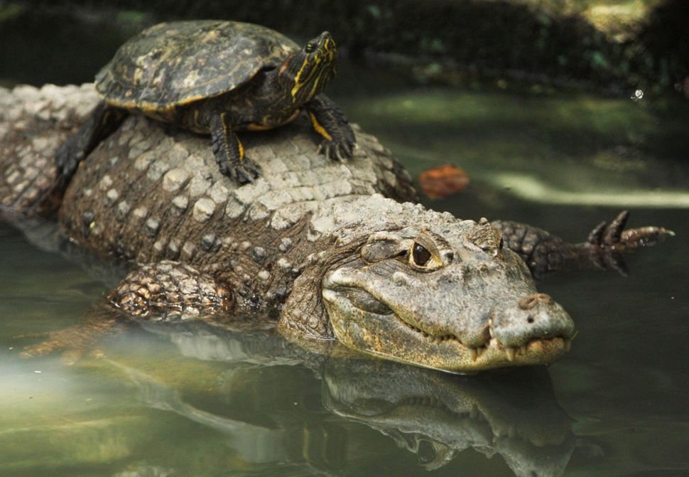 A turtle rides on an alligator's back at the Summit Garden Zoo in Panama City, Friday, Aug. 10, 2012. (Arnulfo Franco/AP)