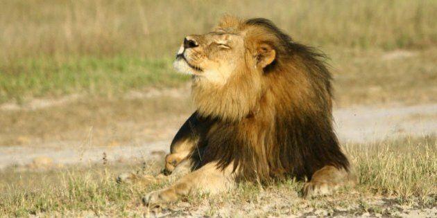 Giallo sul fratello del leone Cecil: ucciso dai bracconieri o vivo e vegeto?