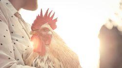 I polli che arrivano sulle tavole (americane) vengano macellati ancora