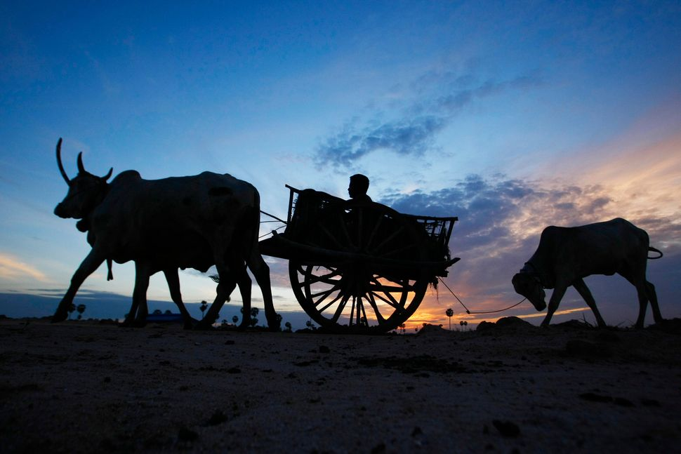 A Cambodian farmer on an ox-cart heads to a rice field for work at Krang Tnung village on the outskirt of Phnom Penh, Cambodi