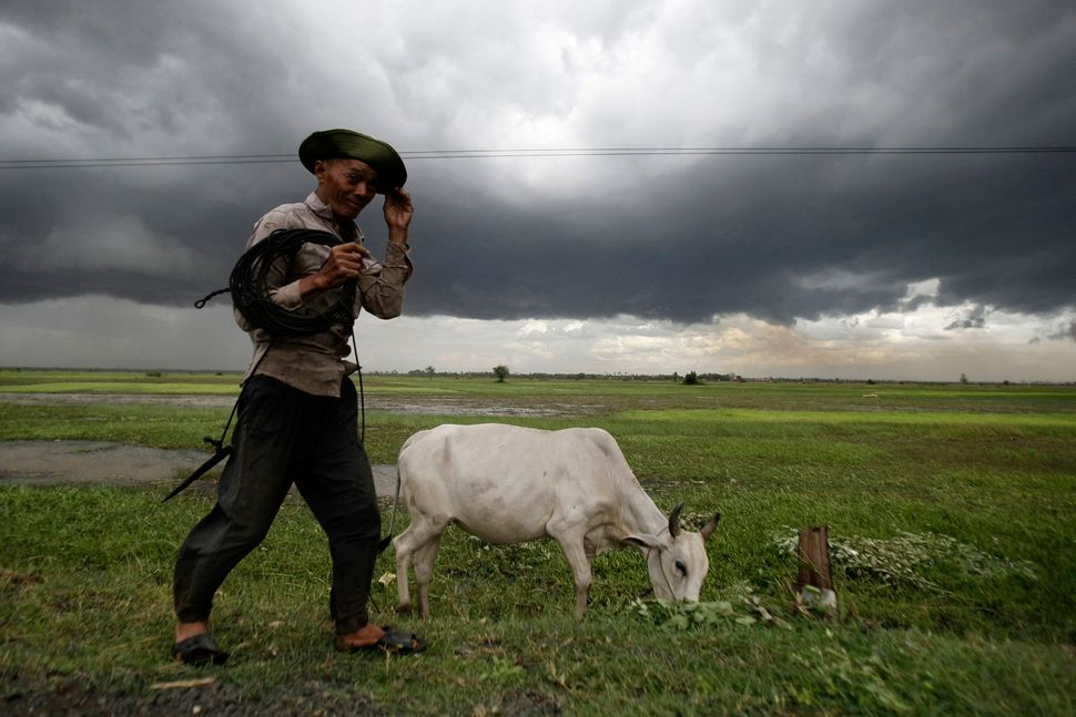 A Cambodian man puts his cow pasture in a paddy field at Baray village, Kampong Thom province, about 120 kilometers (74.5 mil