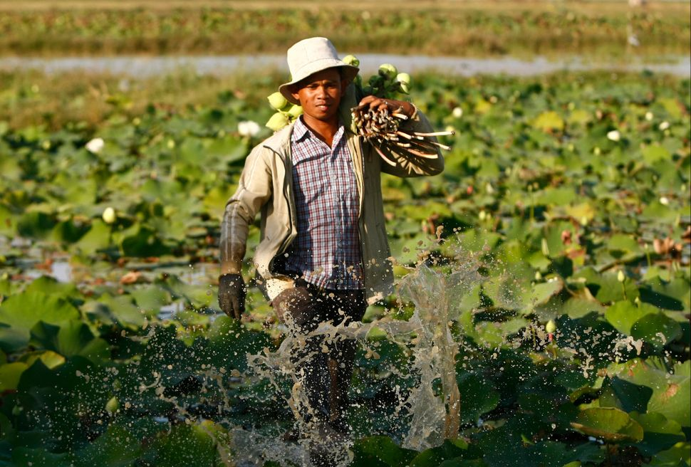 A Cambodian farmer cleans lotus flowers and stems by using his feet before collecting them at a lotus farm, and then he prepa