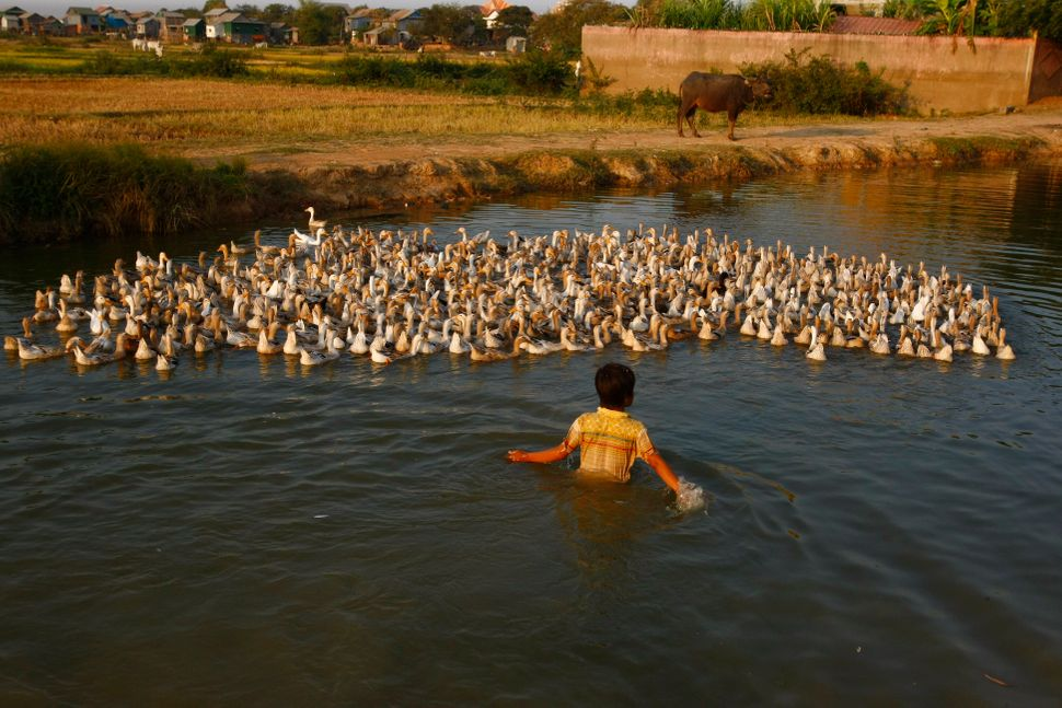 A boy herds ducks in a canal in Samroang Kandal village at the outskirts of Phnom Penh, Cambodia, Saturday, March 1, 2014. (H