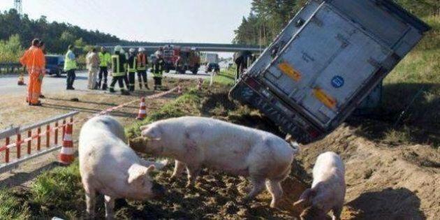 Incidente A1, maiali in fuga in autostrada dopo il rovesciamento di un