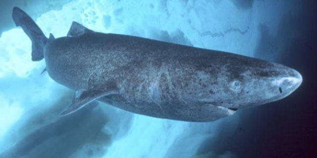 Ecco l'Highlander della Groenlandia: lo squalo Somniosus Microcephalus che può vivere fino a 400