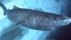 Questo squalo ha un record che nessun vertebrato ha mai