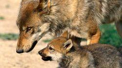 Caro lupo ti scrivo. Per chiederti