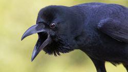Passeggiava per Roma e un corvo la attacca. E non è un