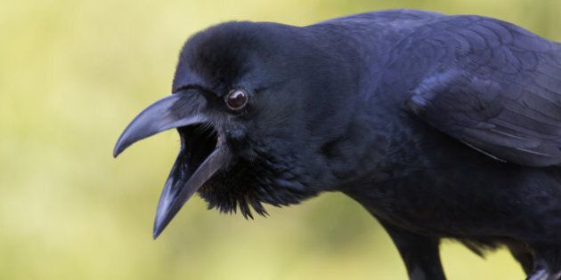 Close up of a Jungle crow. It makes sound loudly and looking with an angry