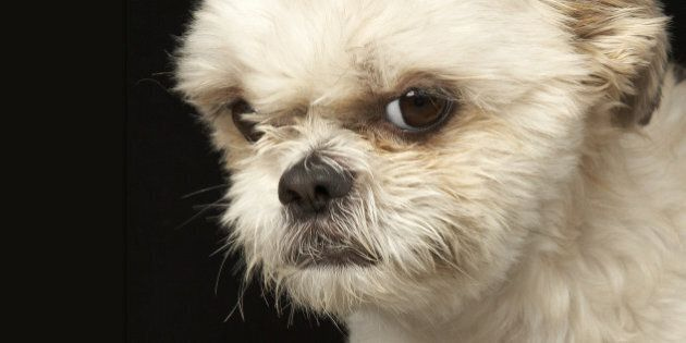 Angry white Shih Tzu with brown