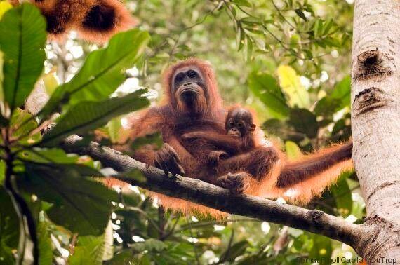 Continua la crisi degli oranghi per i grandi incendi che devastano il Borneo, in Indonesia (VIDEO,