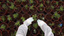 Quanto vale il Sì di Cantone alla cannabis, anche se non conosce la proposta di
