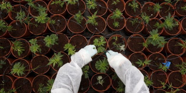 A worker tends to cannabis plants at a plantation near the northern Israeli city of Safed, in this June...