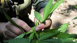 Anche la marijuana vince negli