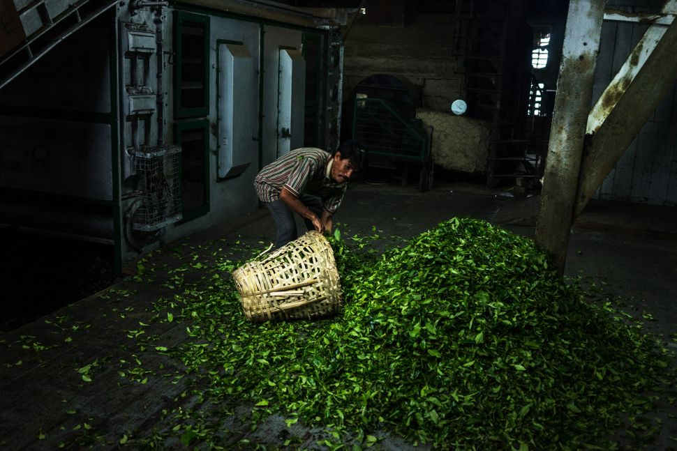 A worker collects tea leaves in a basket at the Makaibari Tea Estate factory in Kurseong, West Bengal, India, on Monday, Sept