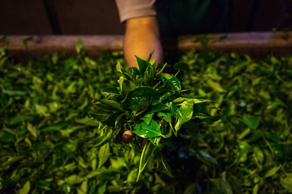 A worker holds tea leaves for a photograph above a withering trough at the Makaibari Tea Estate factory in Kurseong, West Ben