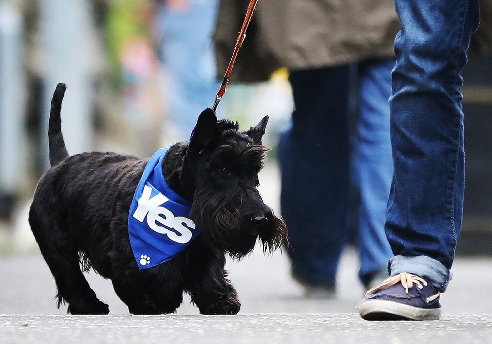 A dog wearing a pro-independence 'Yes' bandana is walked on a street in Glasgow, Scotland, on polling day for a referendum on