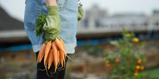 Woman in allotment on roof garden wearing gardening gloves, holding a bunch of carrots.