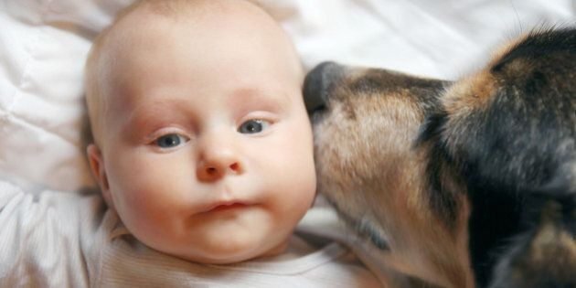 A friendly family German Shepherd dog is laying on a blanket with a two month old newborn baby, kissing...
