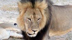 Cadono tutte le accuse: nessuno ha ucciso il leone