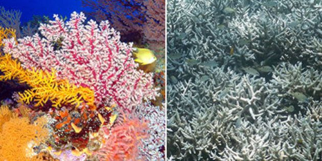 Grande Barriera Corallina a rischio. Un terzo si è già sbiancato. Colpa del riscaldamento globale e del