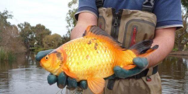 I pesci rossi buttati nei fiumi e nei laghi crescono e danneggiano l'ambiente: lo studio di scienziati
