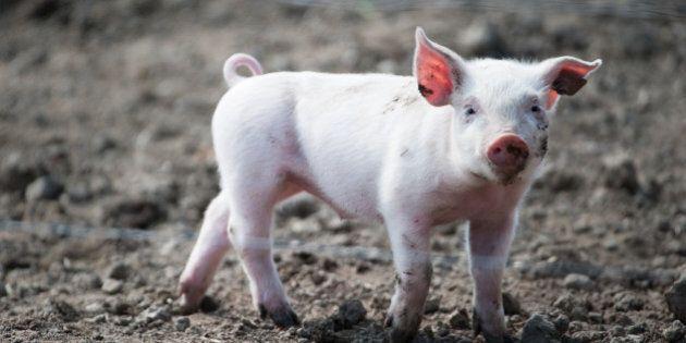 Stop alla castrazione dei maialini da latte senza