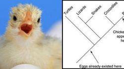È nato prima l'uovo o la gallina? La risposta nello schema di questo