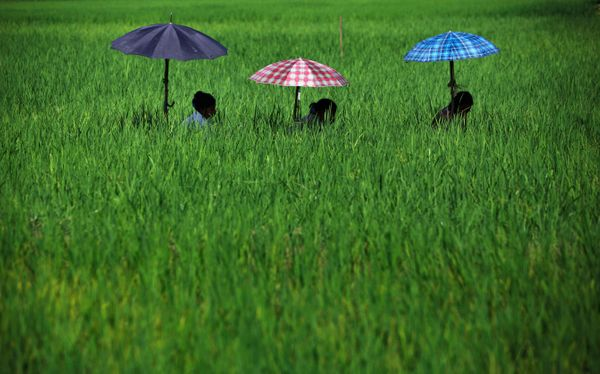 Nepalese women shelter under umbrellas as they work to remove weed from a paddy field in Chitwan, about 44 miles southwest of