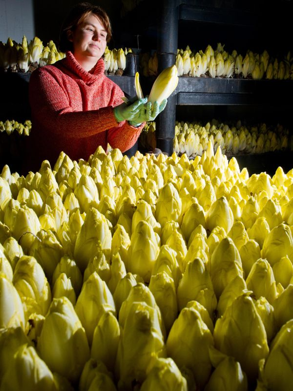 Mandy Diehr, employee of the Landgut Pretschen farm, checks the maturity of chicory plants on Jan. 2, 2014 in Pretschen, east
