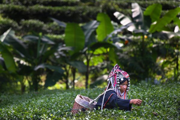 An Akha Hilltribe woman picks Oolong #17 tea leaves during a harvest at the Suwirun Tea farm in the hills outside of Chaing R