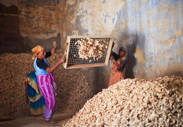 Women working in a ginger and spice factory, selecting ginger roots in the Fort Cochin area on Nov. 23, 2011 in Cochin, Keral