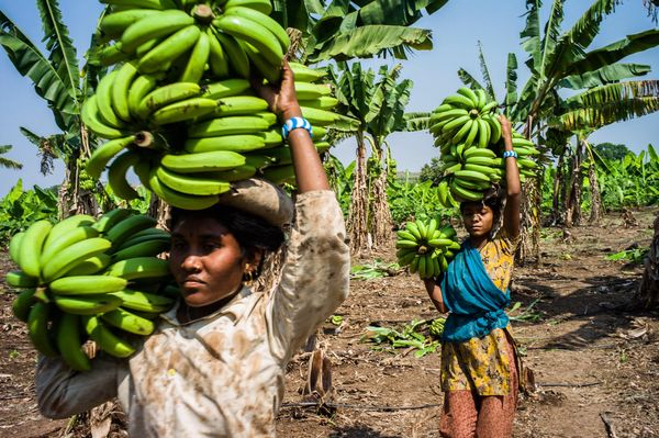 Day laborers carry bananas during a harvest in a field in the district of Burhanpur, Madhya Pradesh, India, on Friday, Oct. 1
