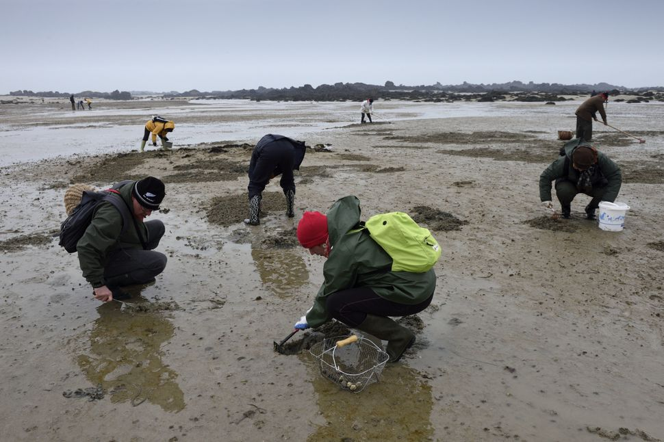 People pick shells at low tide on March 21, 2015 on Chausey island, off Granville. Driven by the effects of the solar eclipse