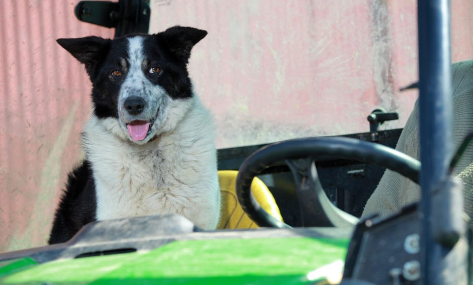 Don the dog, who belongs to farmer Tom Hamilton of Kirkton Farm near Abington, after he crashed the farm vehicle onto the M74