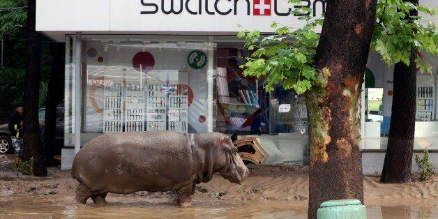 A hippopotamus walks along a flooded street in Tbilisi on June 14, 2015. Tigers, lions, jaguars, bears and wolves escaped on