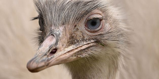 The female partner of the missing Rhea bird which has been on the loose from a private collection in Carlton-in-Lindrick near