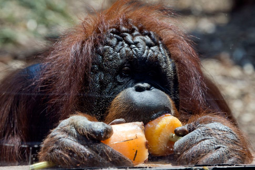 An orangutan at a zoo in Rome eats a popsicle given to it by zookeepers trying to keep the animals cool on Thursday, July 2,