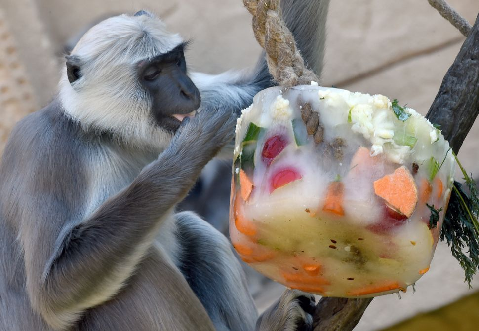A gray langur at a zoo in Hanover, Germany, eats a chunk of frozen fruit and vegetables on Thursday, July 2, 2015.